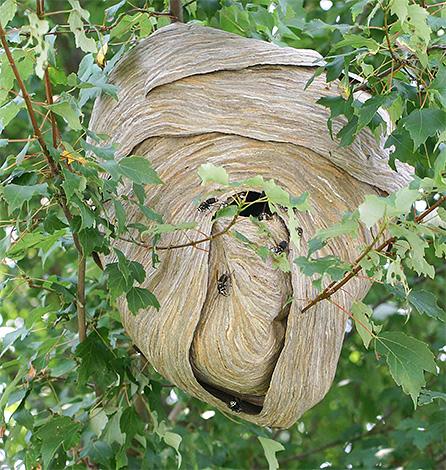 В природе гнезда шершней зачастую располагаются на деревьях