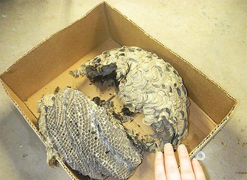 Избавляться от гнезда шершней стоит только в том случае, когда оно действительно представляет угрозу для живущих рядом людей.