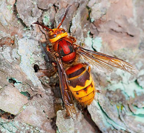 Шершень обыкновенный значительно массивнее, чем бумажные осы