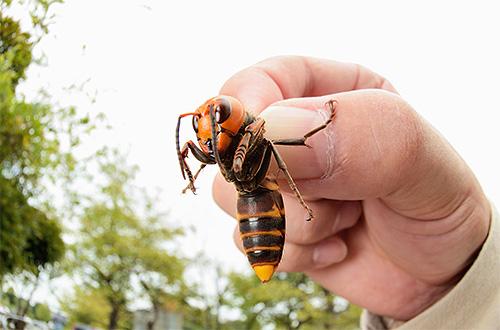 В отличие от европейского, гигантский азиатский шершень является очень опасным насекомым