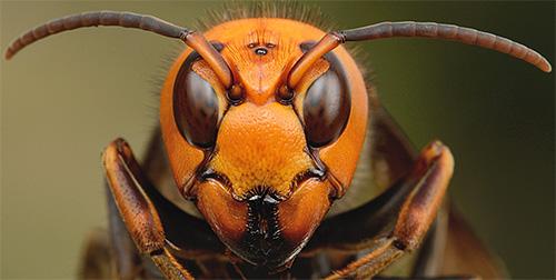 Гигантскому шершню нет нужды пускать в ход свое жало в борьбе с пчелой - одним движением таких челюстей он просто переламывает ее