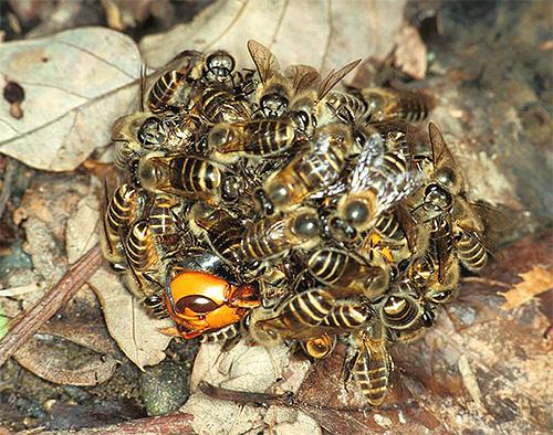 Азиатские пчелы объединяются в огромный шар для того, чтобы убить попавшего в улей шершня