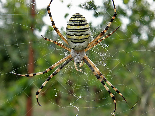 А вот паук является грозным противником и для самого шершня