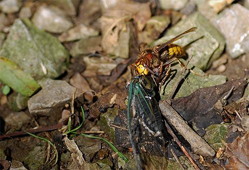 На фото - шершень тащит убитое насекомое для кормления личинок
