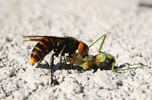 Борьба крупных насекомых с шершнем выглядит довольно зрелищно