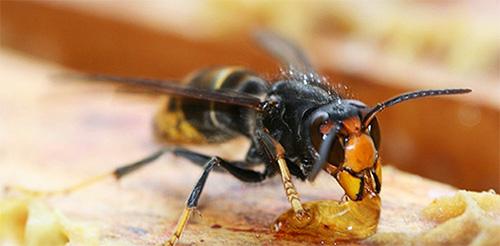 Взрослые шершни любят полакомиться медом из пчелиного улья