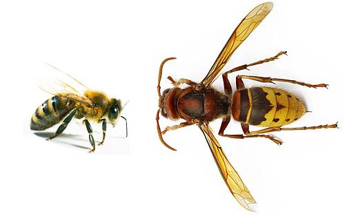 И шершень, и пчела относятся к одному отряду насекомых, но их размеры и особенности поведения разительно отличаются