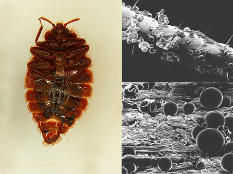 Микрокапсулированные средства от клопов быстро действуют на нервную систему паразитов