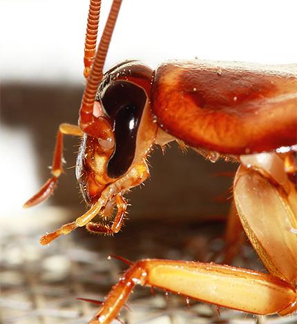 Тараканы имеют мощные челюсти и употребляют в пищу даже, казалось бы, несъедобные материалы