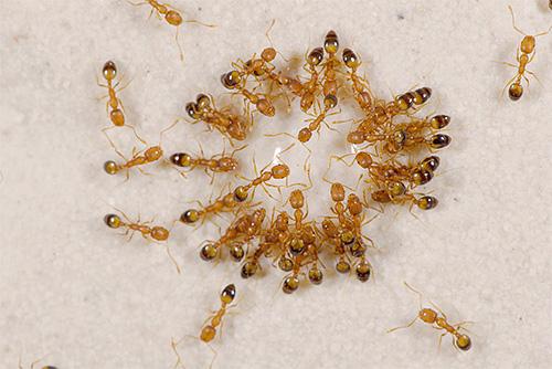 Домашние фараоновы муравьи являются естественными врагами клопов.
