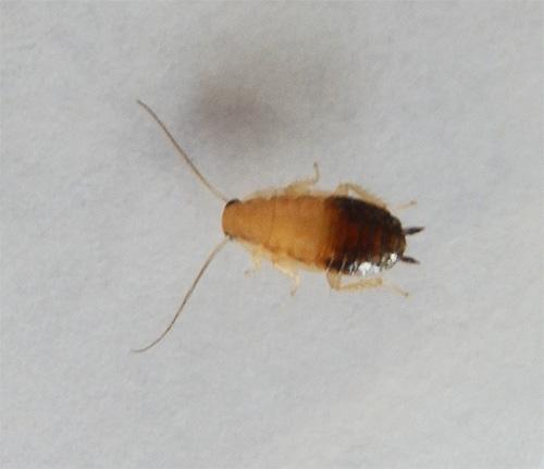 А так выглядит личинка рыжего таракана