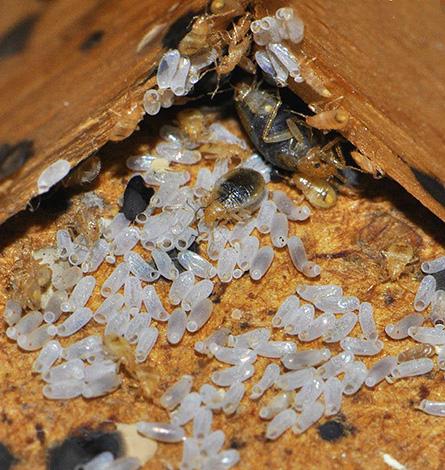 Яйца клопов зачастую устойчивы даже к современным инсектицидам, и через некоторое время после обработки квартиры они могут дать новое потомство.