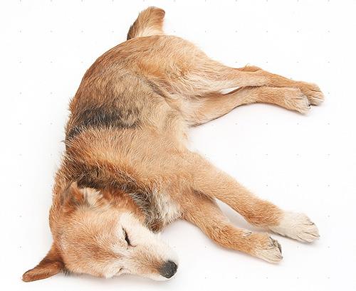 Если собака дополнительно ослаблена болезнью, применять инсектицидные средства нужно с особенной осторожностью