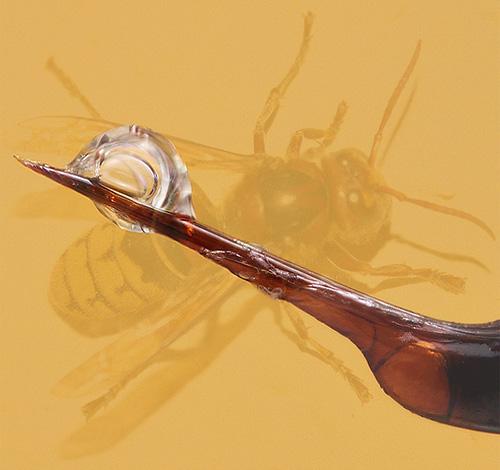 Каждый шершень обладает своим особенным ядом, состоящим из нескольких нейротоксинов, поэтому укусы их не только болезненны, но и чрезвычайно опасны.