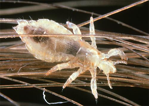Анисовое масло обладает определенным антисептическим действием, то есть убивает бактерии (но не вшей)