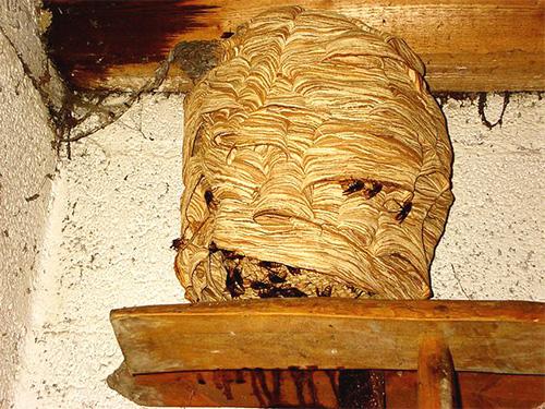 Для размножения черные шершни чаще всего захватывают гнезда других шершней