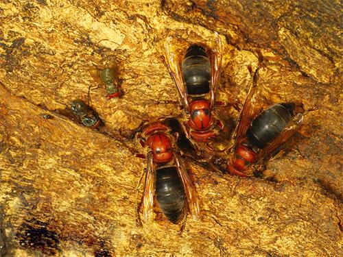 Черные шершни являются гнездовыми паразитами: их самки проникают в чужие колонии и фактически захватывают их