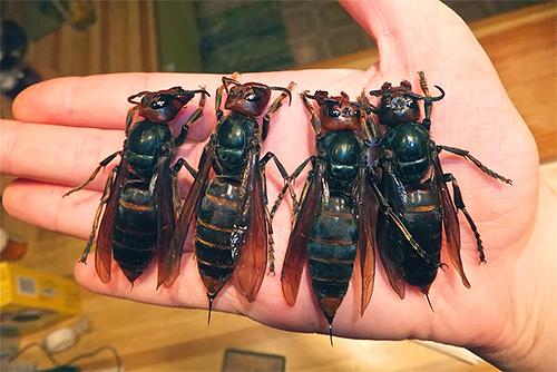 Благодаря особому яду самки черных шершней способны убивать самок обычных шершней.