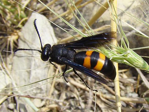 Укусы сколии далеко не так опасны для человека, как укусы похожего на нее внешне черного шершня