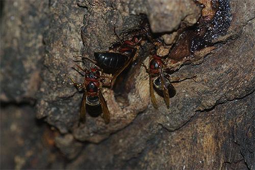 Встречи с черным шершнем довольно редки для европейцев, но насекомое широко распространено в Азии