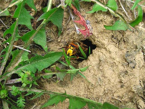 Шершни могут размещать свое гнездо далеко от пасеки и прилетать на нее периодически.