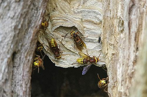 Если шершни обосновали свое гнездо в дереве, избавиться от них иногда бывает довольно сложно