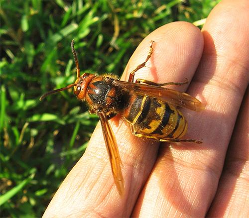 Если вы решили выкурить насекомых из гнезда, соблюдайте все меры предосторожности: разъяренные шершни или осы могут напасть.