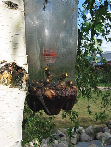 Заполненная насекомыми ловушка на дереве
