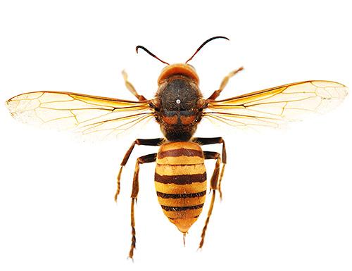 Укусы гигантского азиатского шершня (на фото) очень опасны и часто могут приводить к летальному исходу
