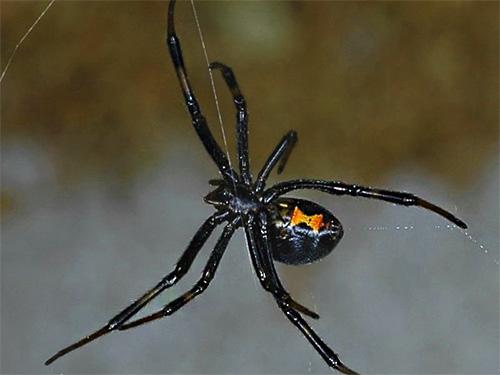 При укусе ядовитых пауков первая помощь может заключаться в прижигании поврежденного места на коже потухшей спичкой.
