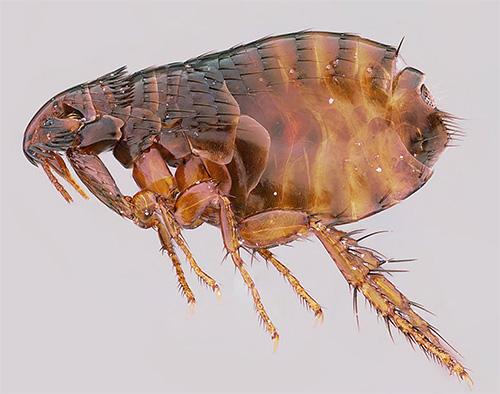 Задние лапки блохи довольно длинные и хорошо развиты, что позволяет отлично прыгать этому маленькому насекомому.