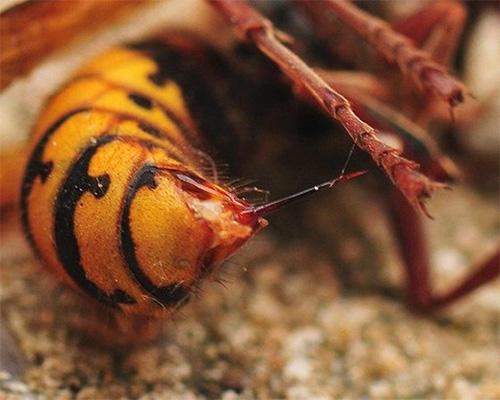 Укусы шершней Vespa Mandarinia не только болезненны, но и чрезвычайно опасны