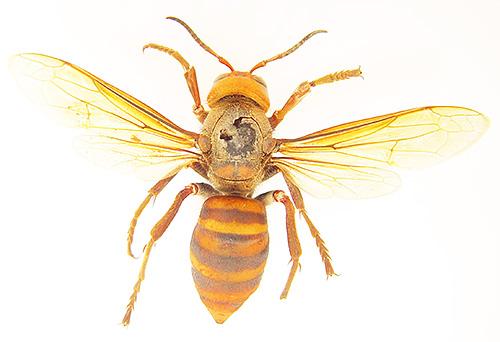 Также шершень Vespa Mandarinia отличается от обычного более выраженными полосками на брюшке