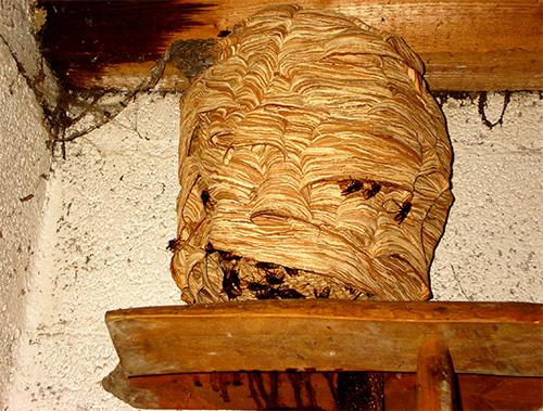 Гнездо шершней издали похоже на большой кокон