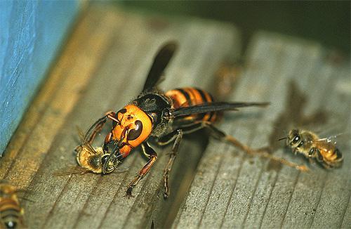 Шершни могут охотиться на пчел и разграблять их ульи