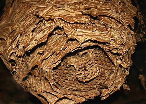 Свое гнездо шершни обычно строят из пережеванной коры деревьев