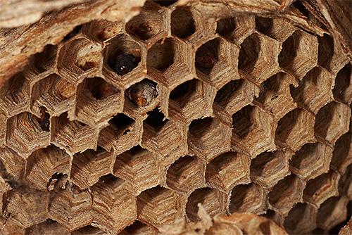 Соты гнезда шершней