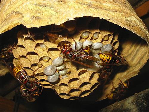 В сотах гнезда видны белесоватые созревающие личинки шершней