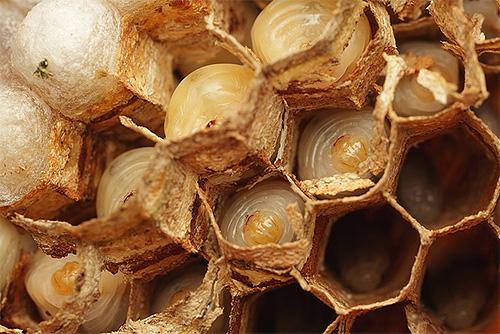Личинки шершней находятся в сотах, куда им приносят пищу взрослые насекомые