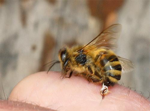 Яд шершня весьма опасен, хотя и считается менее токсичным, чем яд пчел