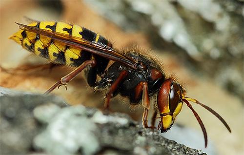 Для шершня, как и для осы, характерна узкая перемычка между грудью и брюшком