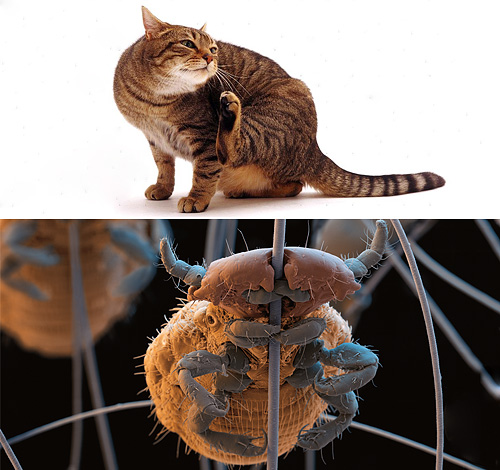 Разберемся, бывают ли у кошек вши и если да, то как от них можно избавиться...