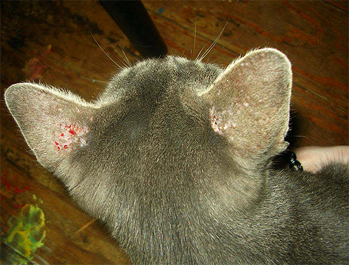 На фото видны расчесы на ушах кошки, возникшие вследствие укусов вшей