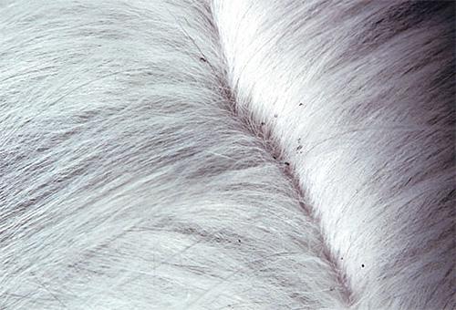 Большое количество экскрементов вшей бывает хорошо заметно на светлой шерсти кошки .