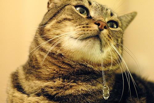 Препараты от вшей на основе перметрина могут вызвать сильное слюнотечение у кошки или кота