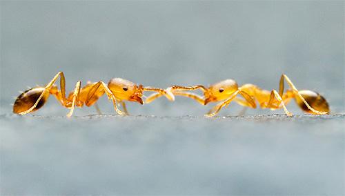 А вот против муравьев дымовые шашки могут оказаться неэффективными, если муравейник находится вне квартиры.