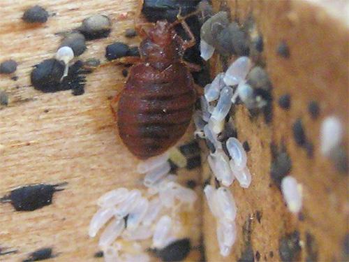 Дымовые шашки, обычно используемые для борьбы с насекомыми, слабо воздействуют на яйца клопов.