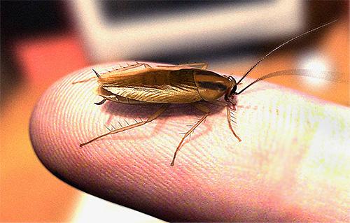 Мало кто знает, что при большом количестве тараканов в помещении они вполне способны кусать человека по ночам.