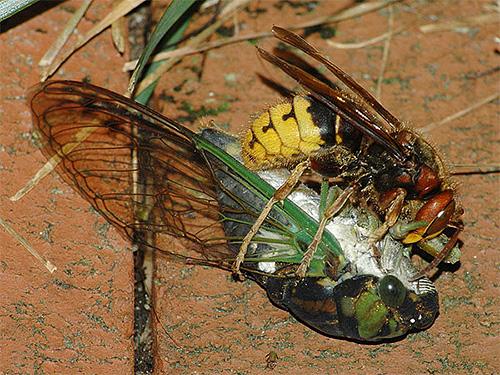 Для личинок шершни добывают и приносят в гнездо мясную пищу