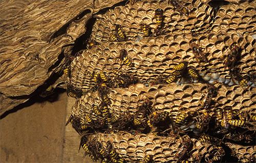 Когда молодых самок и самцов в шершневом гнезде становится слишком много, они покидают его для спаривания.